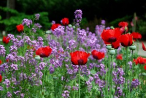 May Poppies & Dames Rocket