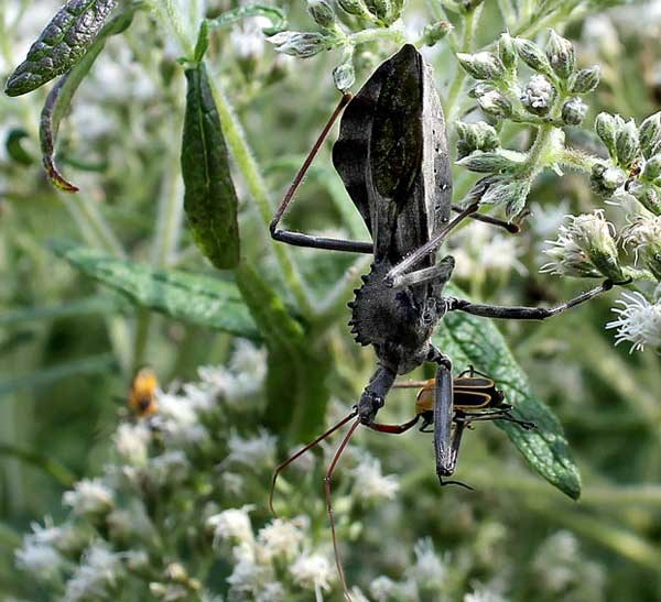Assassin Bug, photo by Debbie Roos