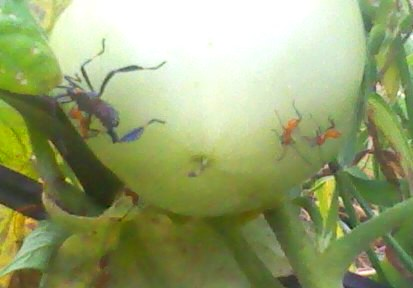 Assassin Bugs on Tomato plant