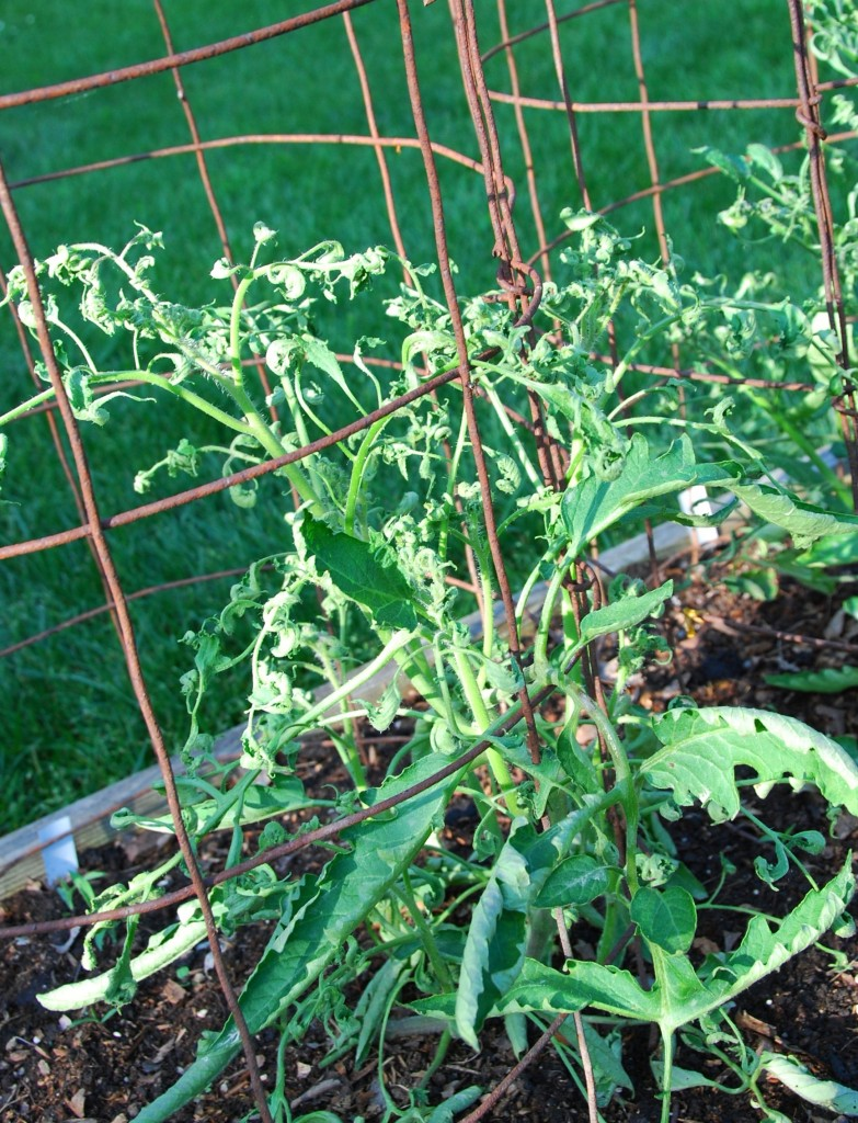 Herbicide damage on Tomatoes