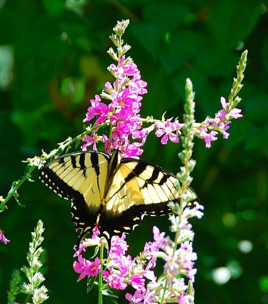 Yellow Swallowtail on Loostrife