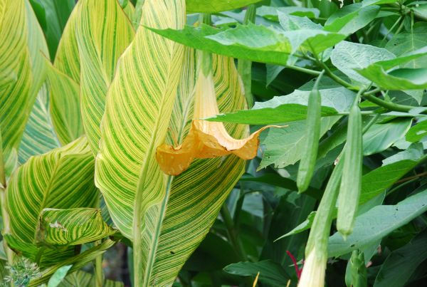 Brugmansia (Angel's trumpet) with Canna pretoria 'Bengal Tiger'