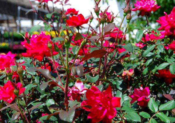 """Healthy Knock-out Roses (a.k.a. """"Kick-A#*"""" roses)"""