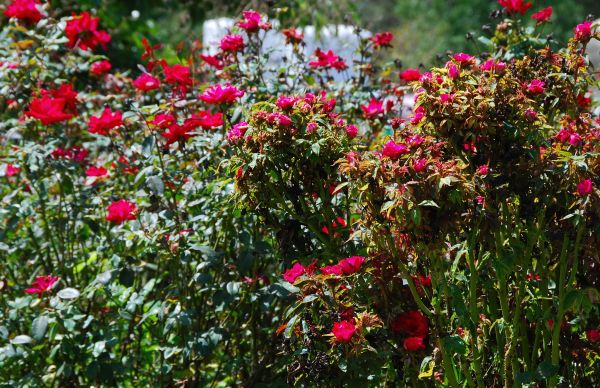 Compare diseased roses on right with still healthy ones on left.