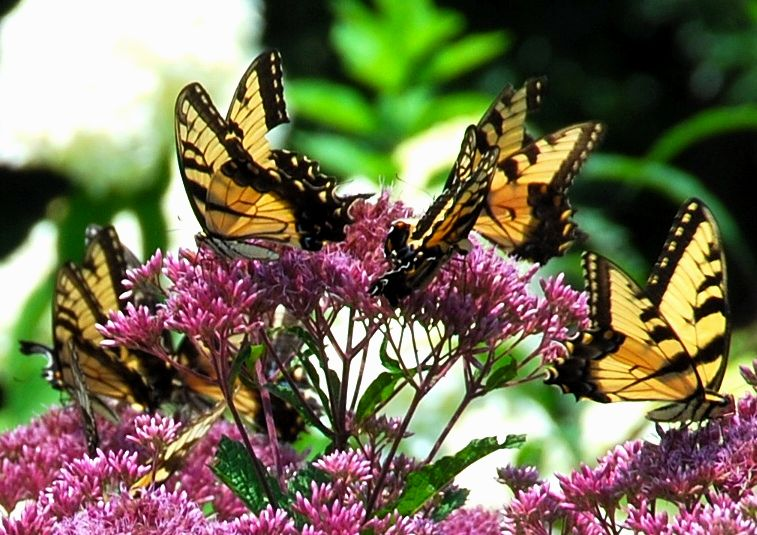 Butterflies LOVE Joe Pye Weed!