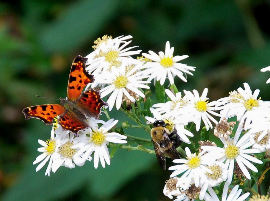 """Neo-nics are labeled for killing """"Lepidoptera"""" , i.e. Butterflies!"""