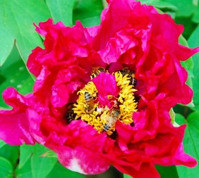 Tree Peony with Honey Bees in April.