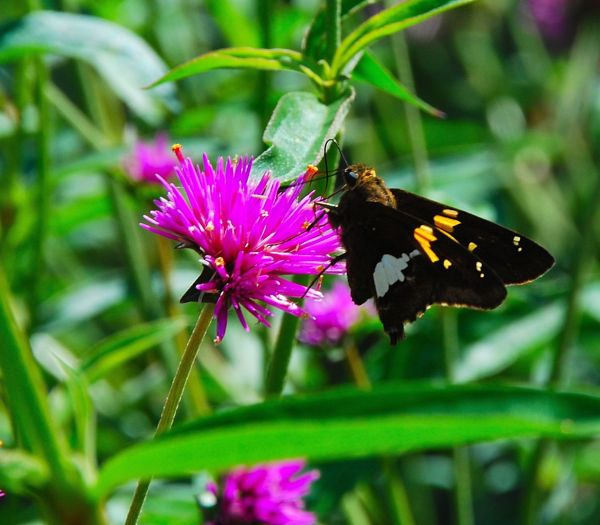 Skipper on Gomphrena