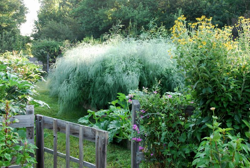 Asparagus bed in summer.