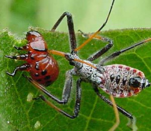 Assassin bug (good guy) eating potato bug (bad guy).