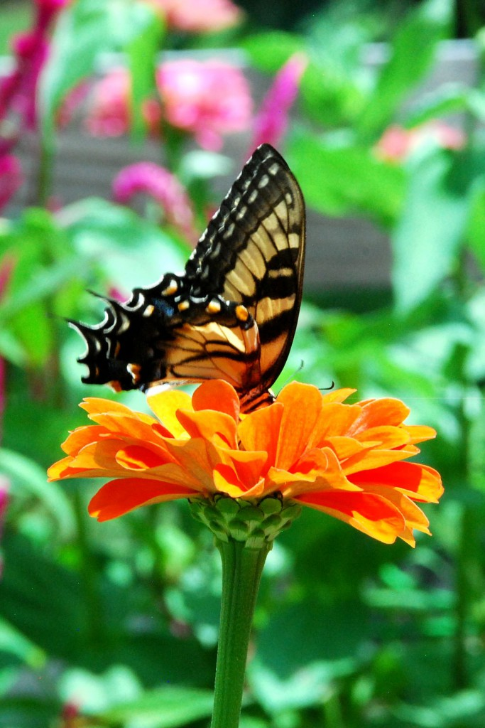 Tiger Swallowtail (another pollinator) on Zinnia