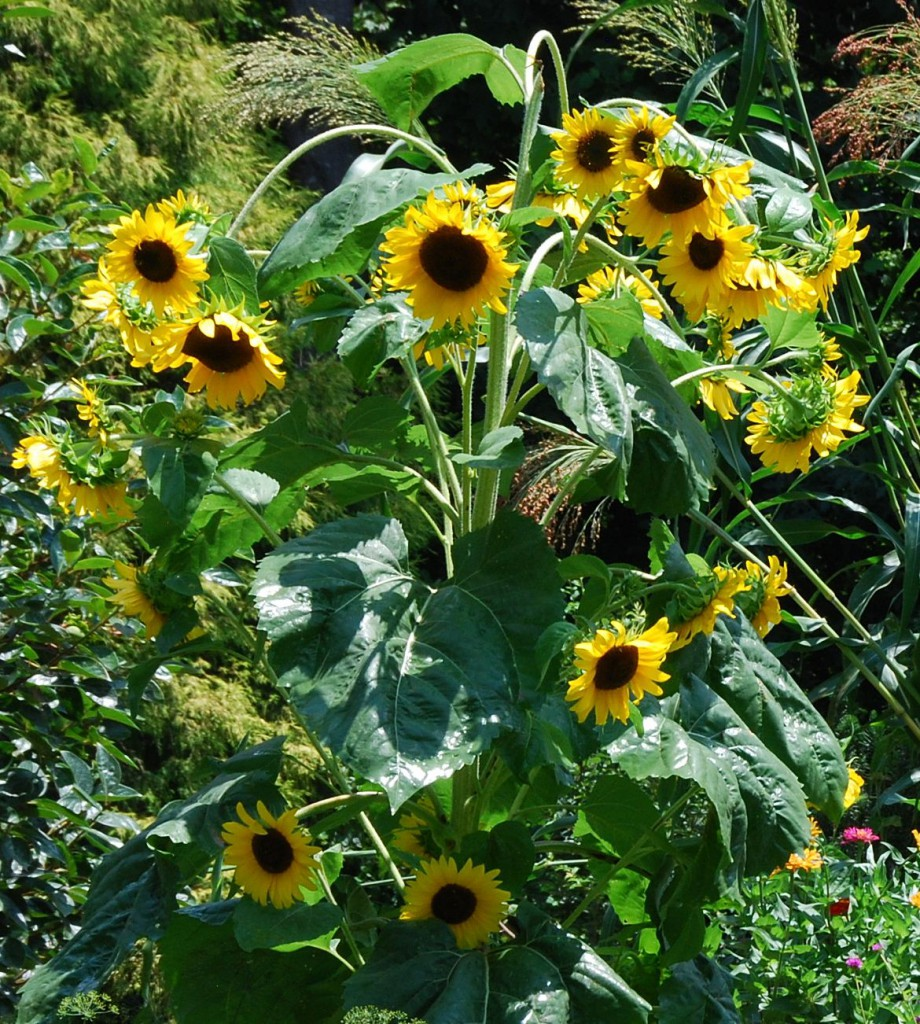 So many Sunflowers- all from ONE seed.