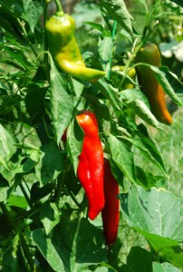 Carmen Peppers are hybrids of the old fashioned sweet Italian peppers. They ripen to red sooner than bell peppers.