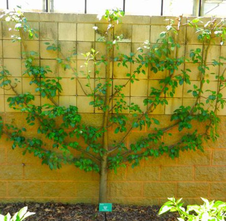 Espaliered Seckel Pear