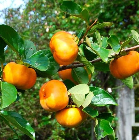 'Fuyu' Japanese Persimmons ripen at the end of October