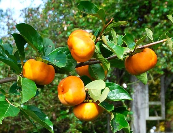 Five Easy Fruits for Every Home Garden