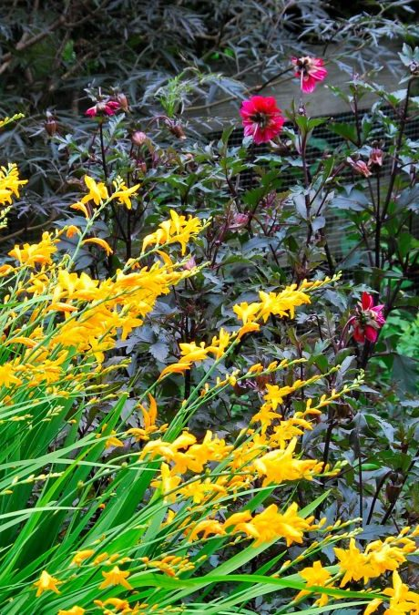 Crocosmia with red Dahlia