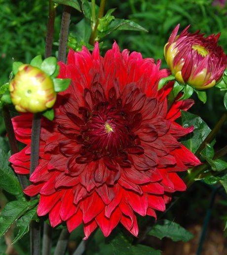 Dark red Dahlia resized