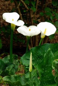 Giant Calla Lily_012Giant Calla Lilyresized
