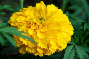 "African Marigolds can grow 30"" high with huge flowers that make you think of carnations, if only they came in flaming gold!"